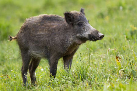 Wild boar, sus scrofa, standing on field in summertime nature. Interested boar looking on meadow with blurred background. Wild swine staring on grass.