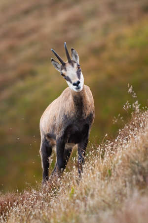 Tatra chamois, rupicapra rupicapra, standing on steep hillside in summer nature. Wild animal looking to the camera in mountains. Majestic mammal with curved horns and brown fur.