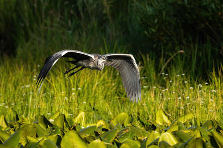 Grey heron, ardea cinerea, flying over the wetland in summer nature. Large grey bird with gray feathers hovering in the air. Wild animal with spread wings.