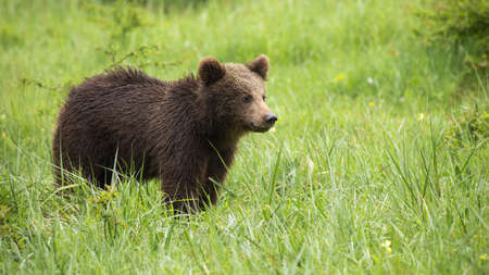 Juvenile brown bear, ursus arctos, standing on a meadow and looking aside during summer. Young wild animal observing on glade from side view.