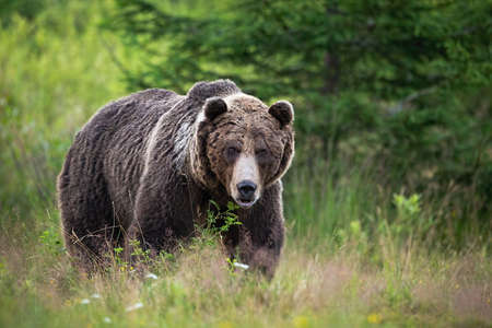 Brown bear, ursus arctos, standing on meadow in summertime nature. Majestic predator looking to the camera with dangerous sight. Wild animal watching on a glade in forest. Banco de Imagens