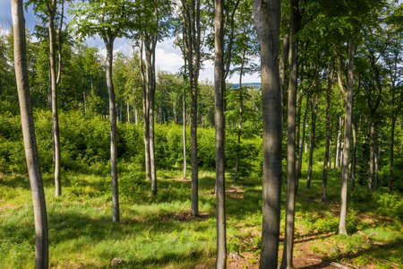 Forested area with young beech trees, dense bushes and grassy floor on a bright spring day. Wide angle view on woodland in summer from high perspective.