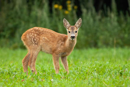 Young roe deer, capreolus capreolus, standing on grass during the summer. Little fawn looking to the camera on meadow. Juvenile animal watching on field from low angle view.