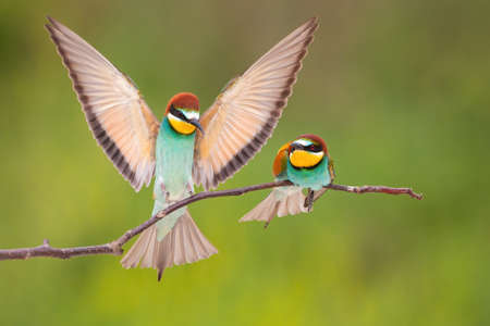 Pair of european bee-eater, merops apiaster, landing on branch in summer. Multicolored bird sitting to another one with spread wings. Beautiful animal with turquoise belly, rose wing and orange head resting on twig.