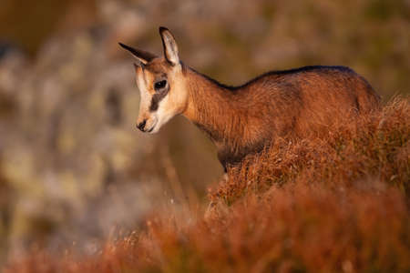 Little tatra chamois, rupicapra rupicapra tatrica, standing on mountains in summer at sunset. Juvenile animal with small horns looking down to the valley. Wild alpine goat watching on cliff.