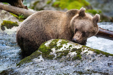 Curious brown bear, ursus arctos, sniffing rock with moss in river with fresh water running around. Vital animal cooling on a hot summer day in nature.