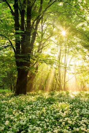 Summer forest on a sunny morning with rays shining through leaves in vertical composition. Bear leek flowers in the protective shade of a tree.