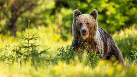 Proud brown bear, ursus arctos, standing in forest in summer nature. Alert mammal looking to the camera on a sunny day from front view with copy space. Wild animal observing from grass.