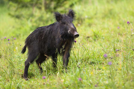 Wild boar, capreolus capreolus, standing on meadow in summertime nature. Wild animal with long dark fur and snout listening attentively on field full of flowers.