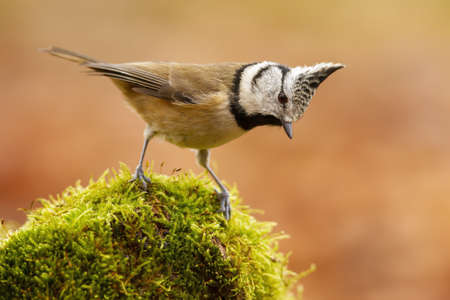 Little crested tit, lophophanes cristatus, standing on moss in summer nature. Small songbird with colorful feather and crest looking on undergrowth. Peaceful animal with brown plumage watching from side.