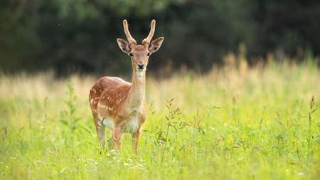 Immature fallow deer, dama dama, standing on meadow in summer. Wild animal with new antlers growing covered in velvet looking to the camera on field. Spotted creature watching on grass from front. Banco de Imagens