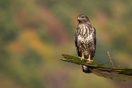 Proud common buzzard, buteo buteo, sitting on branch in summer. Majestic bird observing surrounding on bough with moss. Feathered animal looking on wood from front view with copy space.
