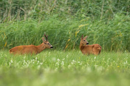 Pair of roe deer, capreolus capreolus, standing on field in summertime. Couple of mammals looking on meadow. Two wild animals staring on grass in rutting season.