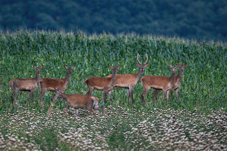 Group of red deer, cervus elaphus, standing on agricultural field during the summer. Herd of animals looking to the camera on countryside. Wild mammal staring from corn.