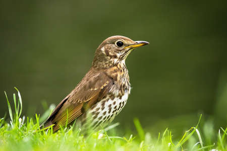 Song thrush, turdus philomelos, sitting on grassland in summer. Small bird with spotted feather looking from meadow. Wild brown animal on green grass from side view.