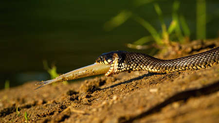 Grass snake, natrix natrix, holding a fish in mouth on riverbank in sunset. Dangerous reptile with patterned skin hunting a prey on sand. Wild creature with dead animal.