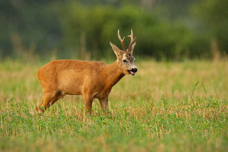 Majestic roe deer, capreolus capreolus, standing on a stubble field during rain in summer nature. Roebuck looking on field in drizzle. Wild animal with grow antlers watching on grassland. Banco de Imagens