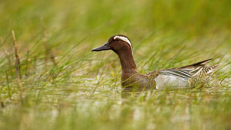 Garganey, anas querquedula, swimming in swamp in summertime nature. Brown duck male looking in wetland with green grass. Wild waterbird floating on water.