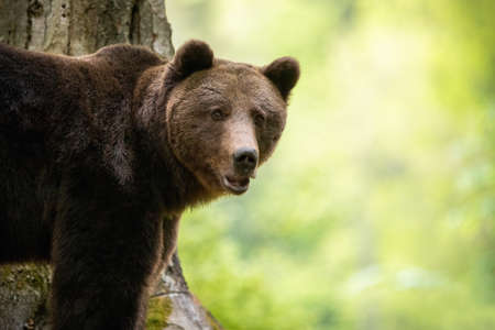 Portrait of brown bear, ursus arctos, standing in forest from close up in summer. Wild alert animal looking to the camera in European wilderness with copy space.