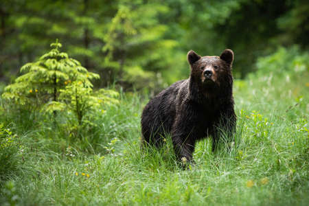 Impressive brown bear, ursus arctos, standing in forest in summer nature. Big furry mammal sniffing with nose held high and looking to the camera in grass with copy space. Banco de Imagens