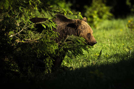 Male brown bear, ursus arctos, standing behind the tree in forest. Wild predator with brown fur hiding in nature. Large animal looking to the grass in summer at sunset.