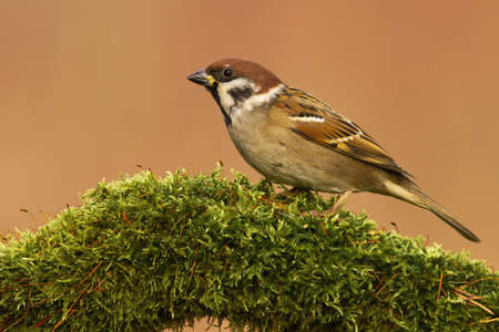 Eurasian tree sparrow, passer montanus, sitting on branch in spring. Small brown songbird looking on moss from side. Wild passerine bird watching on undergrowth from side view. Banco de Imagens