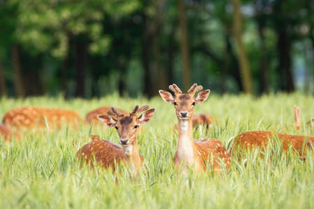 Fallow deer, dama dama, stags standing in grain in summertime nature. Group of animals with small antlers looking to the camera on agricultural field. Wild mammals feeding on countryside.
