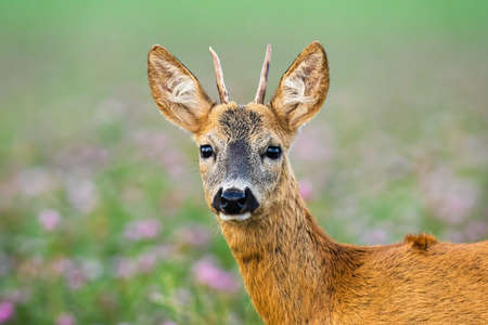 Juvenile roe deer, capreolus capreolus, standing on meadow from close up. Young buck looking to the facing camera. Immature animal observing in clover with blurred background. Banco de Imagens