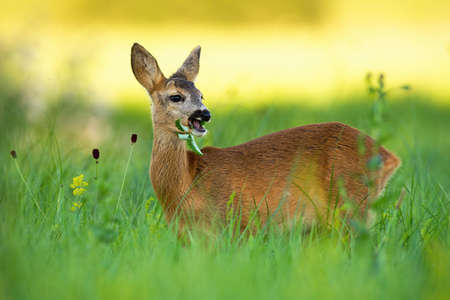 Roe deer doe, capreolus capreolus, chewing on meadow in summertime nature. Wild animal eating on grassland with blurred background. Mammal female standing on pasture at sunset. Banco de Imagens
