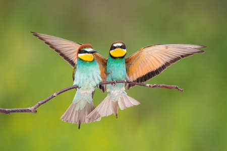 Two european bee-eater, merops apiaster, sitting on bough in summer. Pair of colorful birds resting on branch with spread wings. Beautiful animal couple landing on twig with blurred background. Banco de Imagens