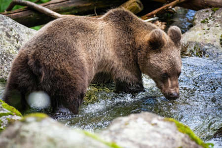 Vital Brown bear, Ursus arctos, standing in river and drinking during the summer. Wild animal looking at water from back side. Undisturbed mammal staring at liquid with wet fur. Banco de Imagens