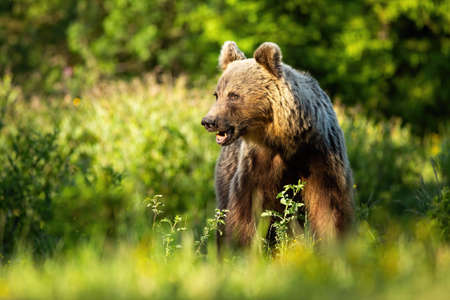 Magnificent brown bear, ursus arctos, standing on meadow on a sunny evening in summer with copy space. Mammal looking in forest from front side. Big wild animal watching on grassland.