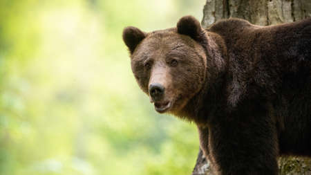 Alert brown bear, ursus arctos, looking to the camera in forest. Wild mammal with brown fur standing in woodland in summer. Big animal watching from close up. Banco de Imagens