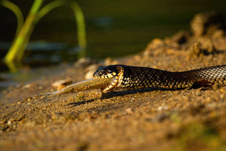 Grass snake, natrix natrix, holding fish on riverside in summer sunset. Threatening serpent swallowing prey in wet nature. Wild reptile crawling on sand.