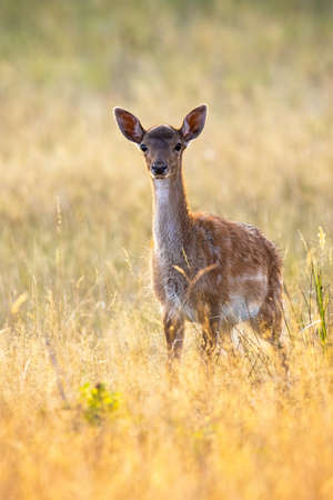 Young fallow deer, dama dama, fawn standing on meadow in summer sunset. Juvenile mammal looking to the camera on field in evening nature. Lonely immature animal watching on grass. Banco de Imagens