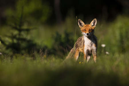 Proud red fox, vulpes vulpes, standing on meadow in summer nature. Wild mammal looking to the camera on sunlight. Wondering predator with orange fur watching on glade. Banco de Imagens