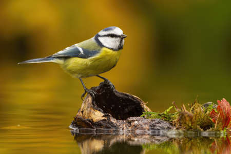 Little eurasian blue tit, cyanistes caeruleus, sitting on wood in pond in autumn. Colorful animal with blue and yellow feather looking on stump. Wild songbird observing in water from side.