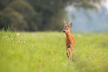 Roe deer, capreolus capreolus, buck approaching on meadow in summertime nature. Roebuck walking on field in sunlight. Wild mammal with antlers moving on grassland with copy space. Banco de Imagens