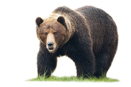 Massive brown bear, ursus arctos, male standing on green grass and looking into camera isolated on white background. Dangerous wild mammal with long fur staring cut out on blank. Banco de Imagens