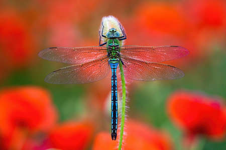 Fragile southern migrant hawker, aeshna affinis, sitting on flower with red poppies blooming in background. Blue dragonfly resting still from top view on colorful meadow in summer nature. Banco de Imagens