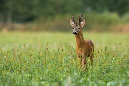 Vital roe deer, capreolus capreolus, buck standing on meadow in summer nature. Territorial roebuck with massive antlers looking on field from front. Wild mammal watching on grassland with copy space. Banco de Imagens