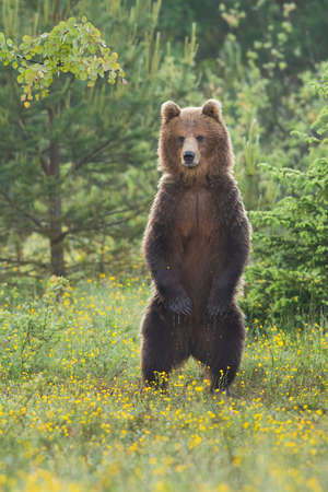 Majestic brown bear, ursus arctos, standing upright on a blooming glade in summer forest. Strong mammal with claws watching erect between wildflowers. Wild creature in vertical composition. Banque d'images