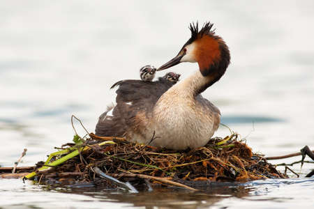 Great crested grebe, podiceps cristatus, mother feeding cubs on water in spring. Waterbird with black crest and red head nesting on boughs on river. Wild feathered animal with baby animals on back floating on lake.