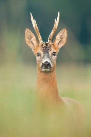 Roe deer, capreolus capreolus, buck looking to the camera on meadow from close up. Amazed mammal with antlers watching on field with blurred background in vertical composition. 版權商用圖片