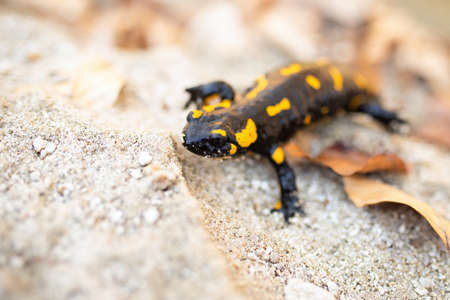 Fire salamander, salamandra salamandra, sitting on sand in autumn nature. Poisonous reptile with yellow spots from front. Wild toxic patterned animal looking on waterside. Standard-Bild