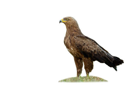 Majestic lesser spotted eagle, clanga pomarina, standing on grass isolated on white background. Magnificent predator observing in nature cut out. Wild hunter watching on empty backdrop. Фото со стока