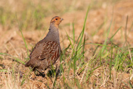 Little grey partridge, perdix perdix, standing on field in summer. Small brown bird looking on dry ground from side. Wild feathered animal observing on earth.