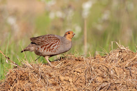 Little grey partridge, perdix perdix, standing on ground in summer sun. Small bird rustling feather on dry earth. Wild brown animal looking on grass from side.