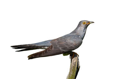 Common cuckoo, cuculus canorus, sitting on branch with transparent background. Grey bird looking on bough isolated on white backdrop. Wild feathered animal watching on twig with copy space. Stock Photo