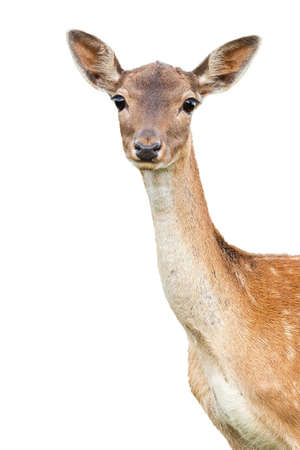 fallow deer, dama dama, doe watching to the camera cut out on blank. Portrait of female animal watching isolated on white background. Hind head with copy space.